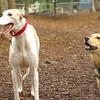 Chase (greyhound), Maddie_10