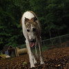 CHASE (greyhound rescue)_7