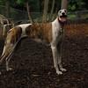 CHASE (greyhound rescue)_9