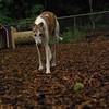 CHASE (greyhound rescue)_5