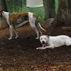 CHASE (greyhound), POWDER_12