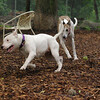 CHASE (greyhound), POWDER_4