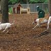 CHASE (greyhound), POWDER_2