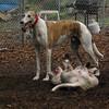 CHASE (greyhound), POWDER_18