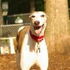 CHASE (greyhound rescue)_14