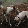 CHASE (greyhound), POWDER_20
