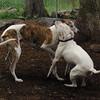 CHASE (greyhound), POWDER_10