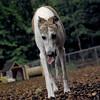 CHASE (greyhound rescue)_6