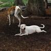 CHASE (greyhound), POWDER_11