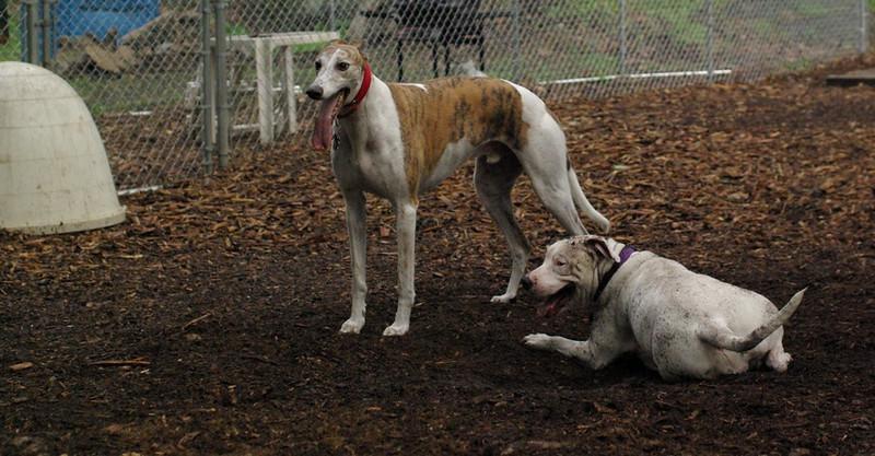 CHASE (greyhound), POWDER_7