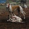 CHASE (greyhound), POWDER_17