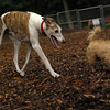 Lemmy, Chase (greyhound)_11