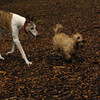 Lemmy, Chase (greyhound)_3