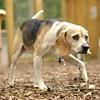 CARLEY (beagle, 14 yr  old)_3