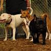 POWDER (pitbull), CHLOE (basenji) (PIC)
