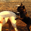 TANK, LOKI (french bulldogs, NEW)_2
