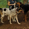 CALI, SAMMY, MICKIE (hounds)_1