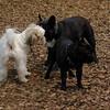 TANK, LOKI (french bulldogs, NEW)_5