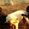 TANK, LOKI (french bulldogs, NEW)_1