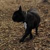 TANK, LOKI (french bulldogs, NEW)_8
