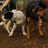 CALI, SAMMY, MICKIE (hounds)_2