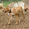 MAX (ridgeback pup)_2
