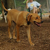 MAX (ridgeback pup)_1