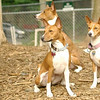 three Basenjis (CHLOE) (PIC)