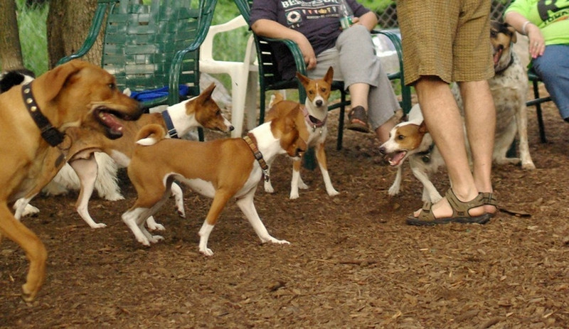 Oliver (jack russell), BASENJIS, Max (PIC)