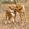 SHAMUS & MAX (ridgeback)_1