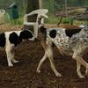 CALI, MICKIE (hounds)_3