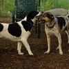 CALI, MICKIE (hounds)_1
