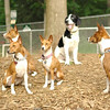 BASENJIS & MICKIE (blue eyes)_3