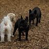 TANK, LOKI (french bulldogs, NEW)_4
