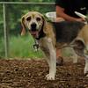 CARLEY (beagle, 14 yr  old)_1