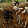 POWDER, SAMMY, Basenjis_1