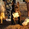 TANK, LOKI (french bulldogs, NEW)_3