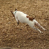 OLIVER (jack russell)_16