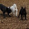 TANK, LOKI (french bulldogs, NEW)_6