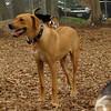 MAX (ridgeback pup)_3