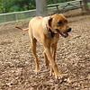 MAX (ridgeback pup)_4