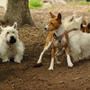 TAYDA, ISABELLA, FAITH (terrier)_2