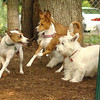 Oliver (jack russell), BASENJIS, isabella (PIC)