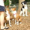 BASENJIS & MICKIE (blue eyes)_1