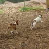 OLIVER (jack russell)_25