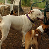 POWDER (white pitbull)_3
