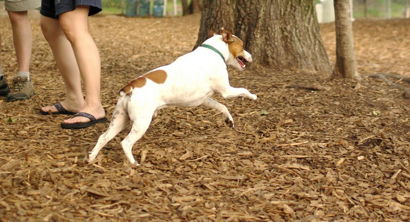 OLIVER (jack russell)_12