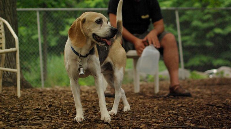 CARLEY (beagle, 14 yr  old)_2