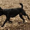 FAITH (patterdale terrier)_1
