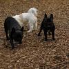 TANK, LOKI (french bulldogs, NEW)_7